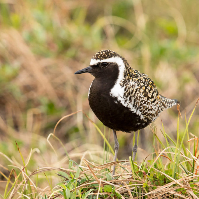 Pacific Golden-Plover in  breeding plumage.<br>Mick Thompson © Creative Commons