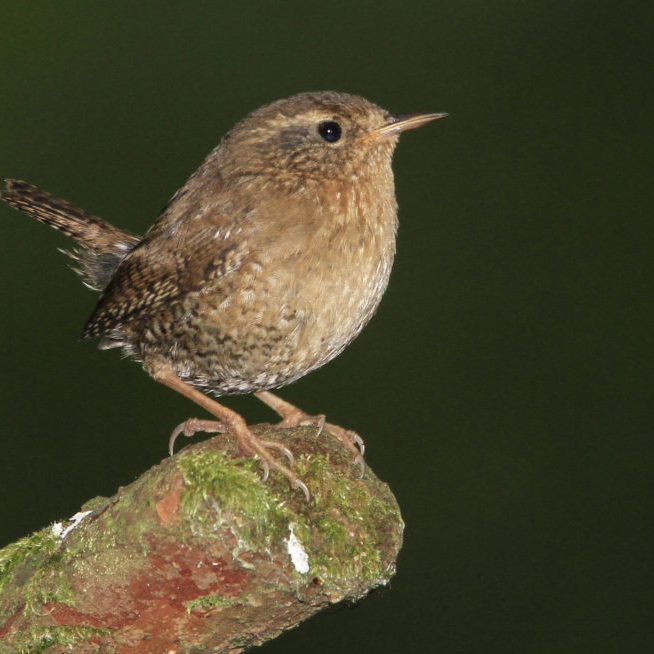 Pacific Wren at Sitka National Historic ParkArman Moreno © Creative Commons
