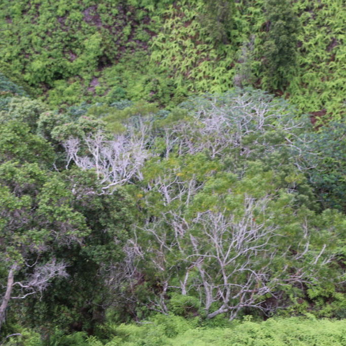 Rapid ʻŌhiʻa Death has devasted forests on the island of Hawaiʻi and is now detected on two additional islands. <br>Dan Dennison, State of Hawaiʻi