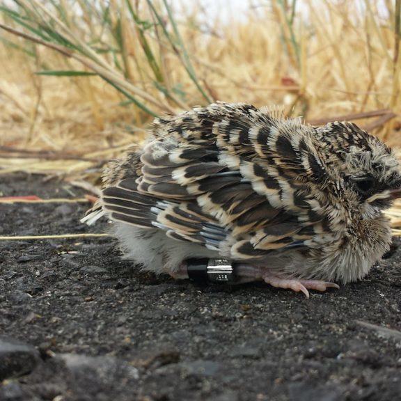 Streaked Horned Lark fledgling© Adrian Wolf