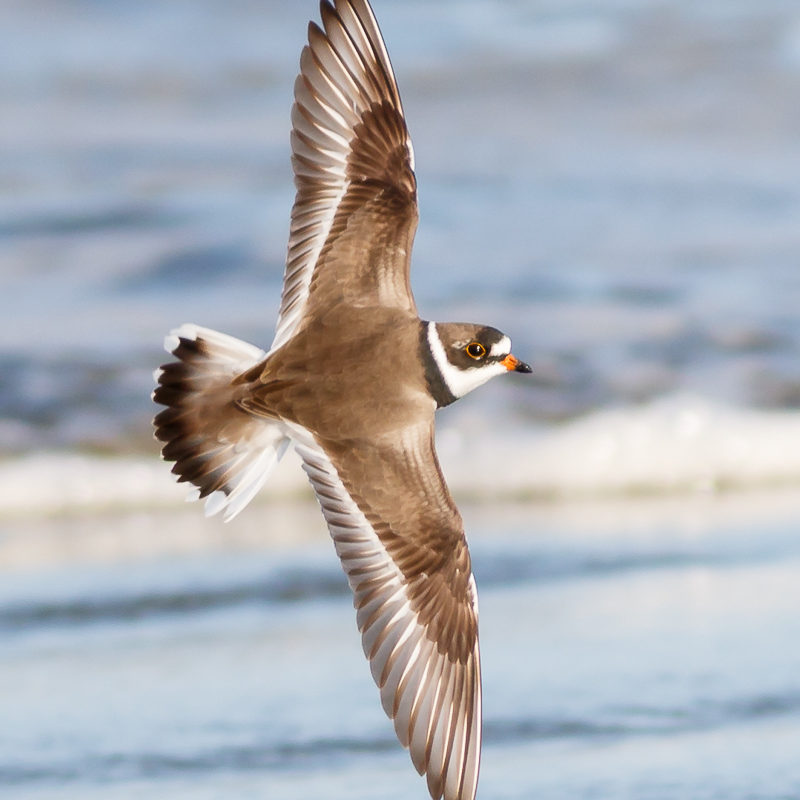Semipalmated Plover<br>© Barry Troutman