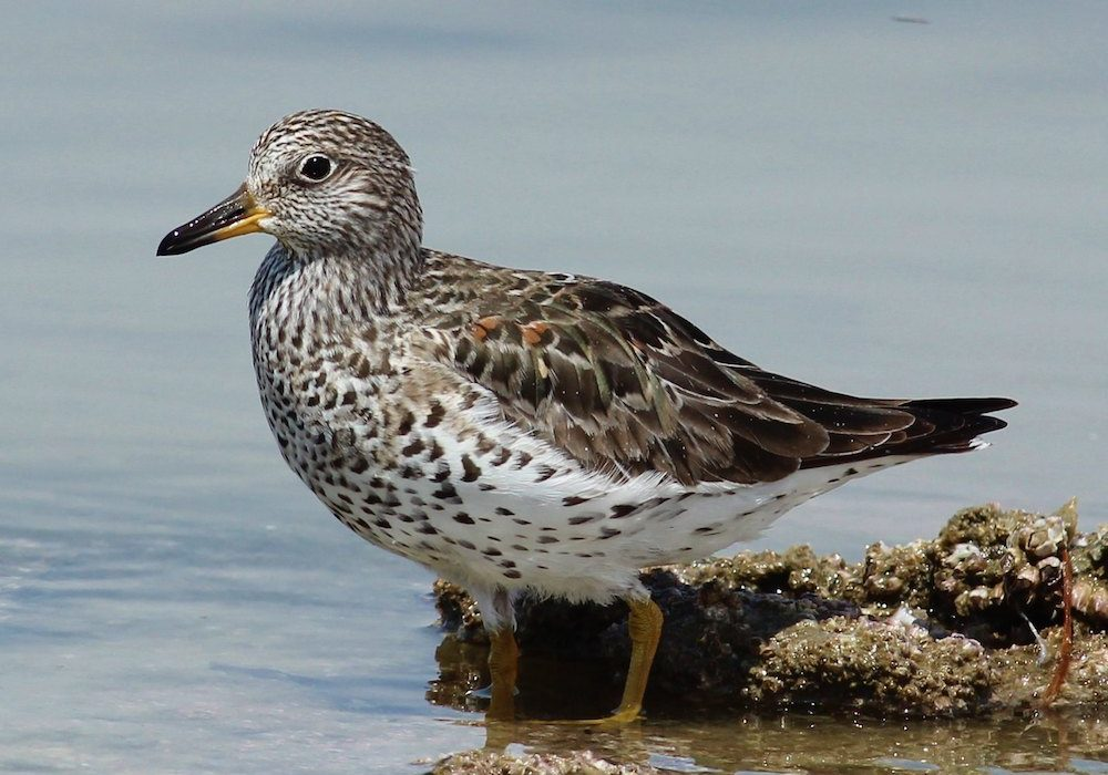 The revised plan has a new Stewardship section – to qualify, half of the population of a species must be found in Alaska at some point during its annual cycle.<br>Surfbird, Tom Benson © Creative Commons