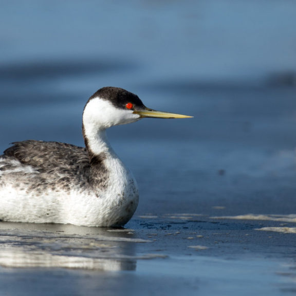 Western Grebe is one of the 12 species that showed declines in the Salish Sea over the past 20 years.<br>Mick Thompson © Creative Commons