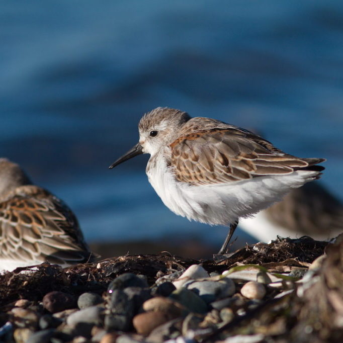 Feature Photo Caption: Western Sandpiper, Dunlin, and Sanderling are among the Pacific Flyway shorebirds that have shown significant declines. Researchers want to know why. Western Sandpipers © David Bradley