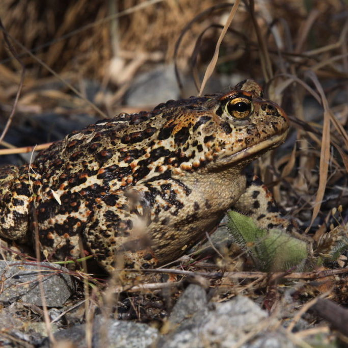 The Dugualla Bay Preserve supports multiple estuarine and freshwater species, including this Western Toad. <br>Ron Newberry