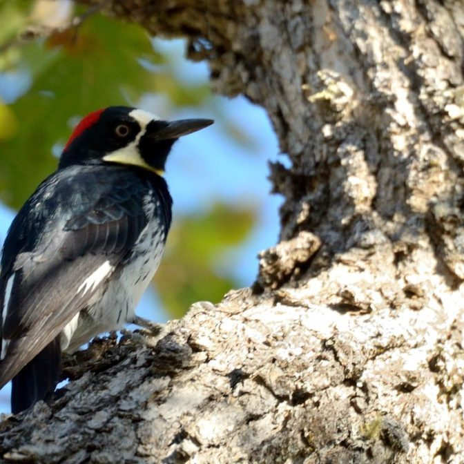 Acorn Woodpecker / Frank D. Lospalluto © Creative Commons